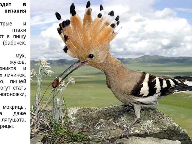 Что входит в рацион питания удодов? Эти пестрые и проворные птахи употребляют...