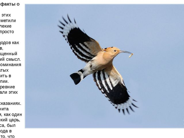 Интересные факты о птице удод Оказывается, этих пернатых приметили еще наши д...