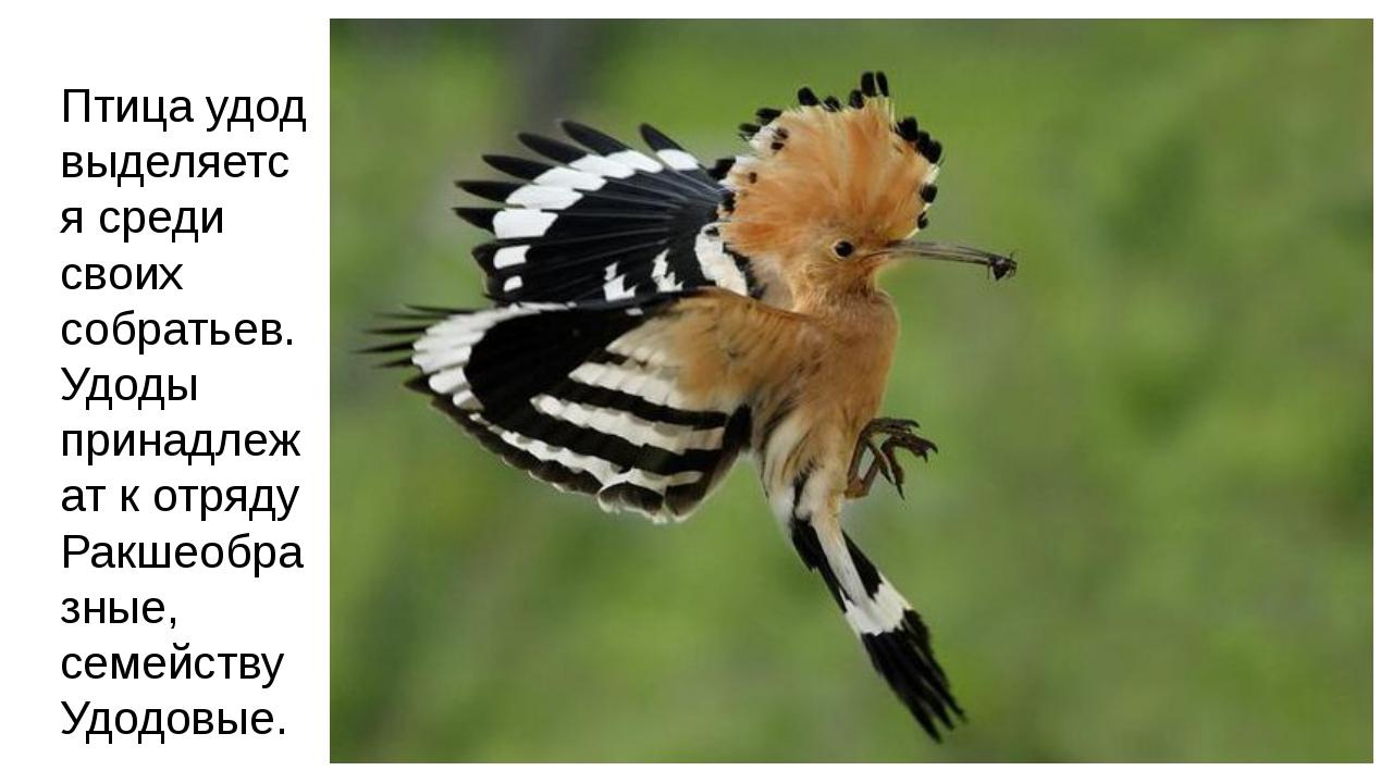 Птица удод выделяется среди своих собратьев. Удоды принадлежат к отряду Ракше...