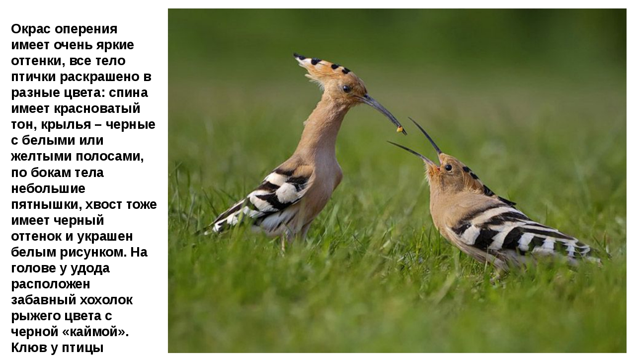 Окрас оперения имеет очень яркие оттенки, все тело птички раскрашено в разные...