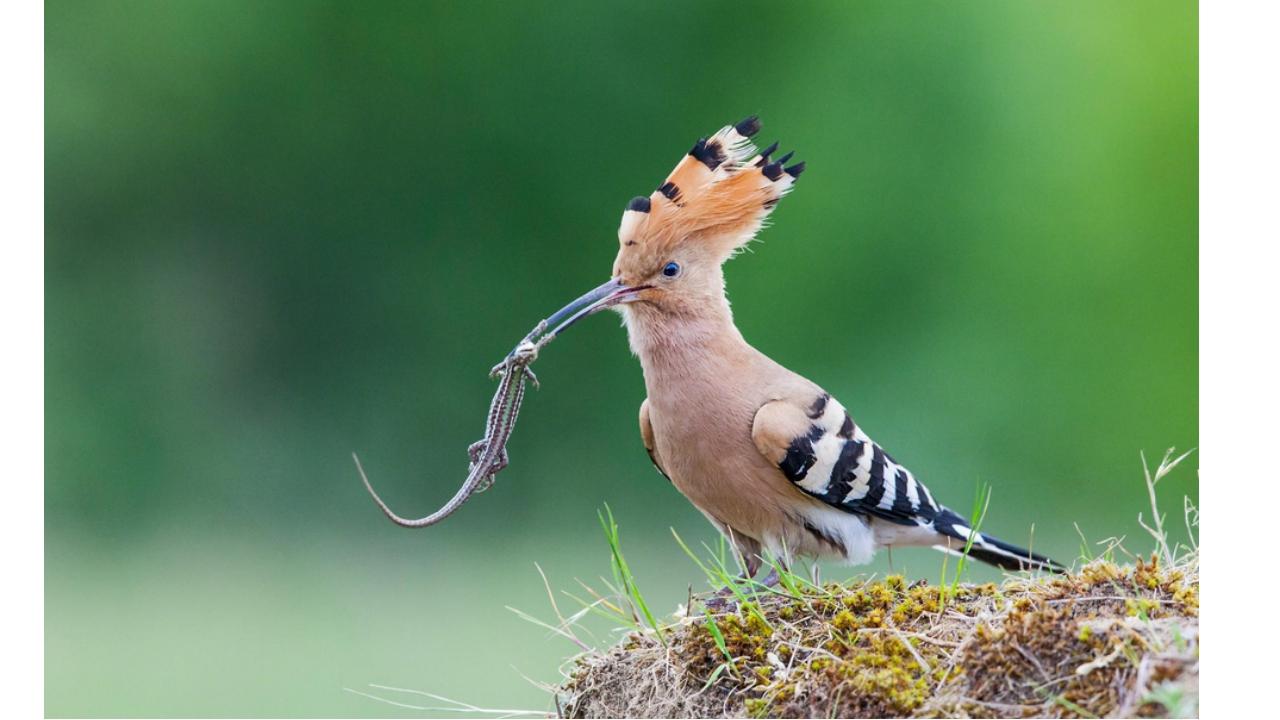 этот картинки удод птицы раба