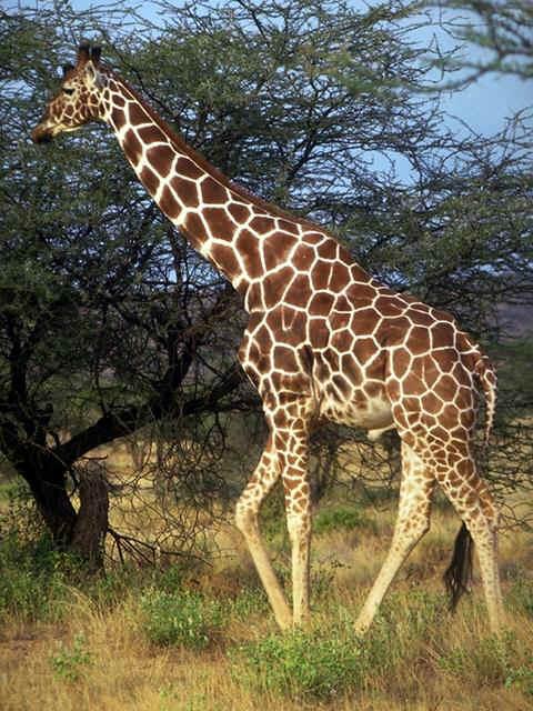 http://zateevo.ru/userfiles/image/Zveri_Dikie/Zhiraf/giraffe1.jpg