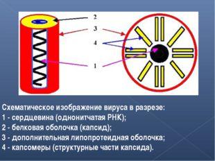 Схематическое изображение вируса в разрезе: 1 - сердцевина (однонитчатая РНК)