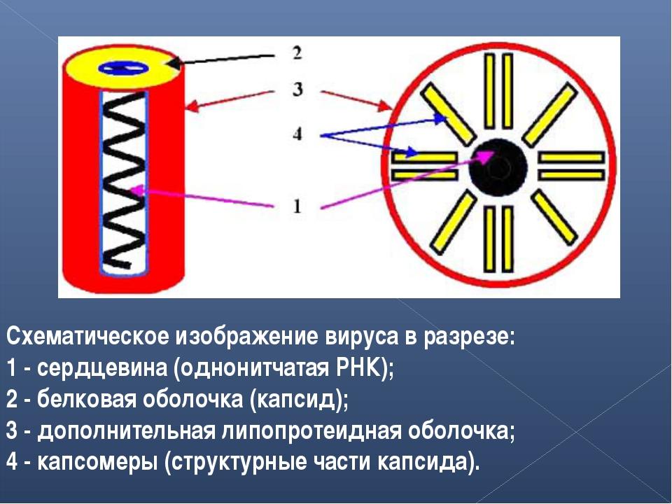 Схематическое изображение вируса в разрезе: 1 - сердцевина (однонитчатая РНК)...