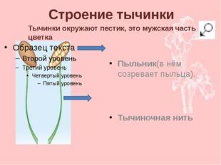 Строение тычинки Пыльник(в нём созревает пыльца). Тычиночная нить Тычинки окр