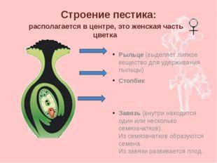 Строение пестика: Рыльце (выделяет липкое вещество для удерживания пыльцы) Ст