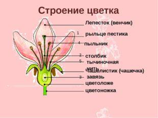 Лепесток (венчик) рыльце пестика столбик тычиночная нить Чашелистик (чашечка)