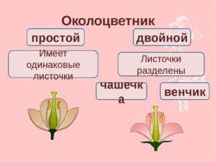 Околоцветник простой двойной Имеет одинаковые листочки Листочки разделены чаш