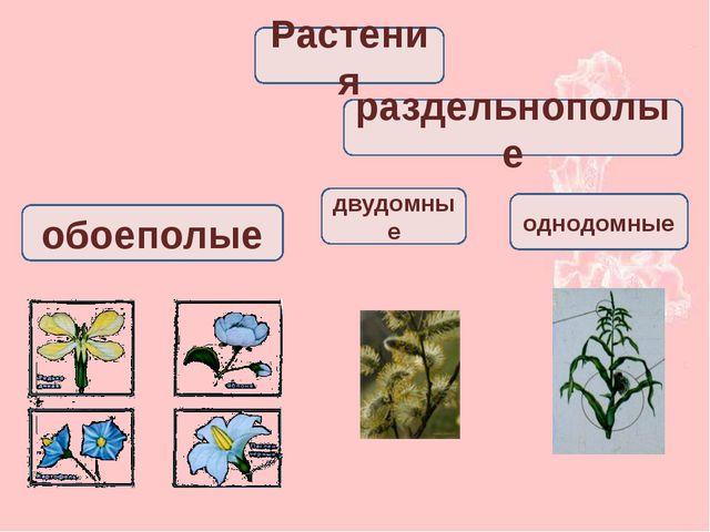 однодомные обоеполые раздельнополые Растения двудомные