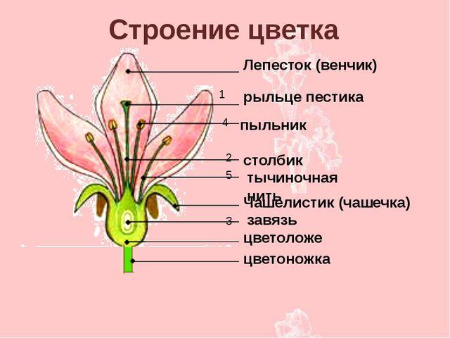 Лепесток (венчик) рыльце пестика столбик тычиночная нить Чашелистик (чашечка)...