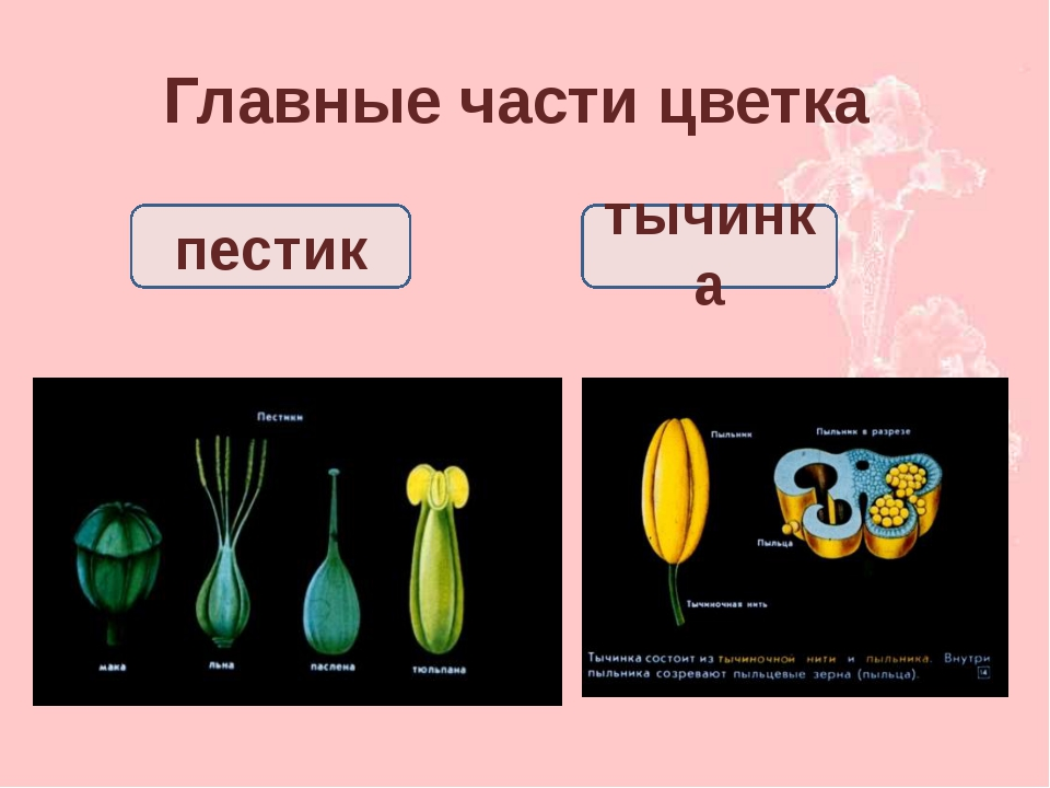 Главные части цветка пестик тычинка