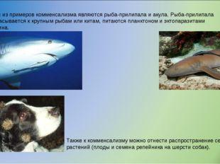 Один из примеров комменсализма являются рыба-прилипала и акула. Рыба-прилипал