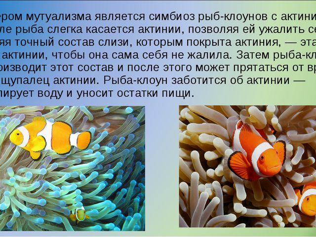 Примером мутуализма является симбиоз рыб-клоунов с актиниями. Вначале рыба сл...