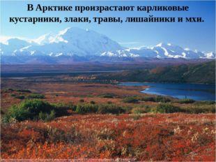 В Арктике произрастают карликовые кустарники, злаки, травы, лишайники и мхи.