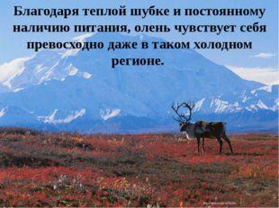 Благодаря теплой шубке и постоянному наличию питания, олень чувствует себя пр