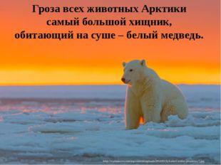 Гроза всех животных Арктики самый большой хищник, обитающий на суше – белый м