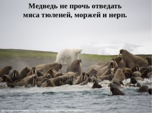 Медведь не прочь отведать мяса тюленей, моржей и нерп.