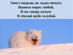 Хвост поджав, во льдах ночует, Вынося мороз любой, И по северу кочует В тё
