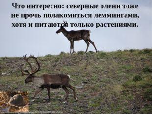 Что интересно: северные олени тоже не прочь полакомиться леммингами, хотя и п