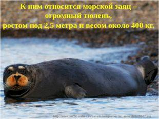 К ним относитсяморской заяц – огромный тюлень, ростом под 2,5 метра и весом