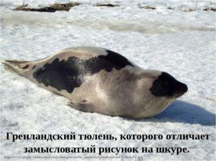 Гренландский тюлень, которого отличает замысловатый рисунок на шкуре.