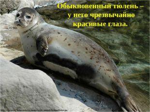 Обыкновенный тюлень – у него чрезвычайно красивые глаза.