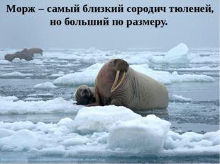 Морж – самый близкий сородич тюленей, но больший по размеру.