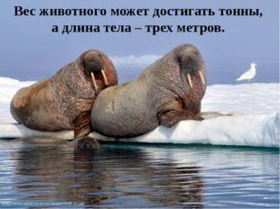 Вес животного может достигать тонны, а длина тела – трех метров.