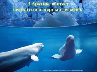 В Арктике обитает белуха или полярный дельфин.
