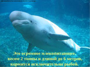Это огромное млекопитающее, весом 2 тонны и длиной до 6 метров, кормится искл