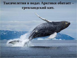 Тысячелетия в водах Арктики обитает – гренландскийкит.