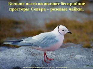 Больше всего оживляют бескрайние просторы Севера – розовые чайки..