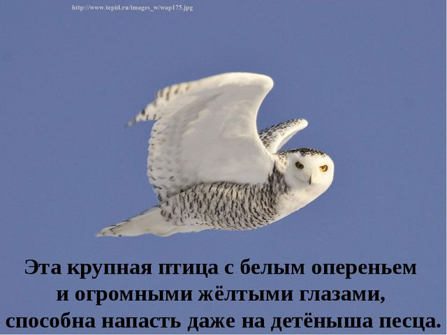Эта крупная птица с белым опереньем и огромными жёлтыми глазами, способна нап...