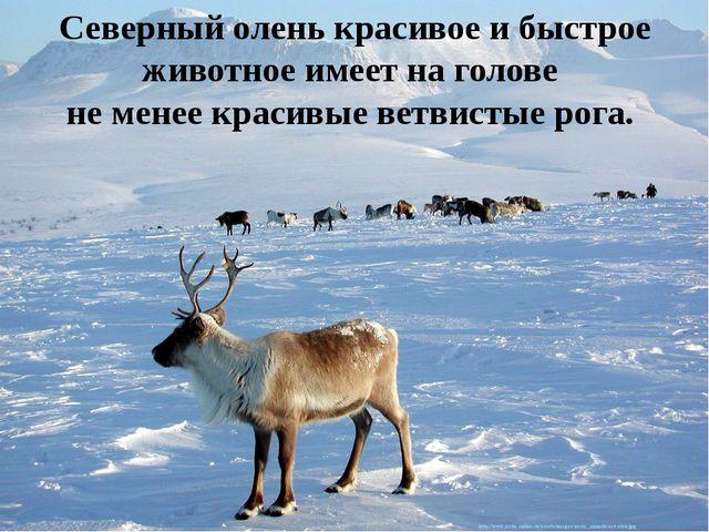 Северный олень красивое и быстрое животное имеет на голове не менее красивые...