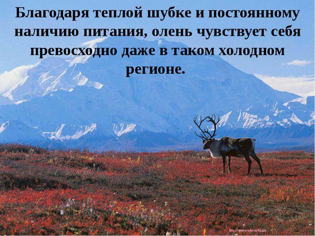 Благодаря теплой шубке и постоянному наличию питания, олень чувствует себя пр...