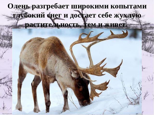 Олень разгребает широкими копытами глубокий снег и достает себе жухлую растит...