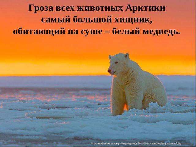 Гроза всех животных Арктики самый большой хищник, обитающий на суше – белый м...