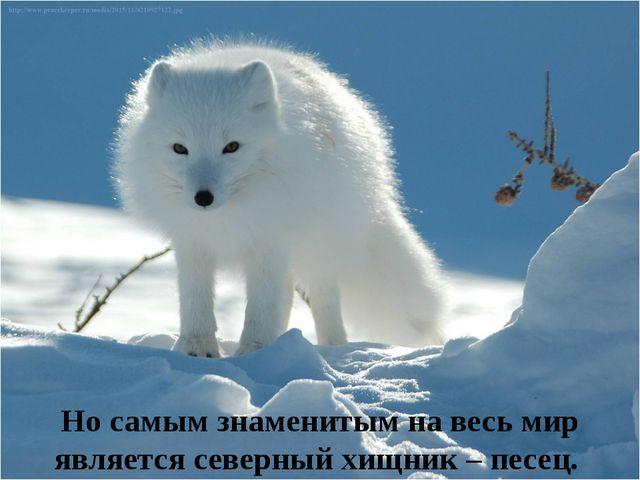 Но самым знаменитым на весь мир является северный хищник – песец.