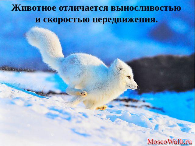 Животное отличается выносливостью и скоростью передвижения.