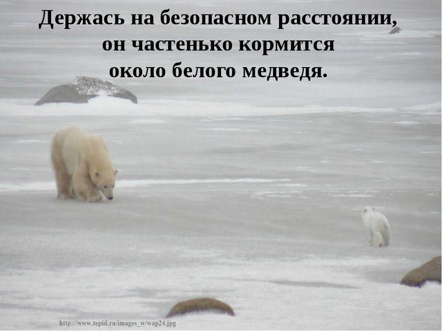 Держась на безопасном расстоянии, он частенько кормится около белого медведя.