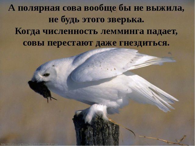 А полярная сова вообще бы не выжила, не будь этого зверька. Когда численность...