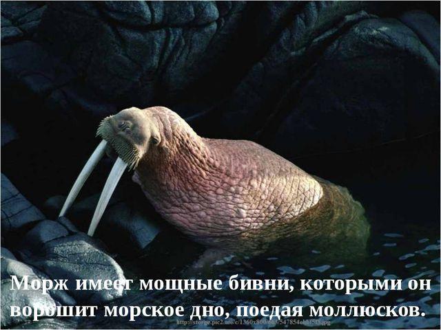 Морж имеет мощные бивни, которыми он ворошит морское дно, поедая моллюсков.