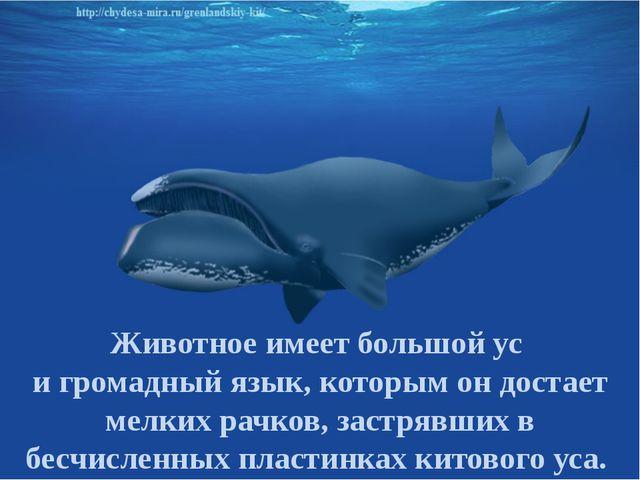 Животное имеет большой ус и громадный язык, которым он достает мелких рачков,...