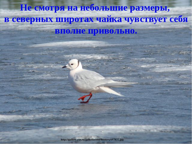 Не смотря на небольшие размеры, в северных широтах чайка чувствует себя вполн...