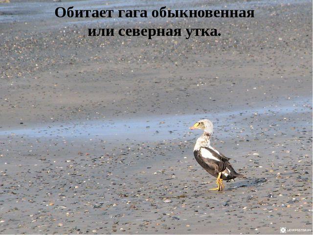 Обитает гага обыкновенная или северная утка.