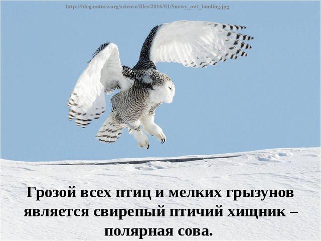 Грозой всех птиц и мелких грызунов является свирепый птичий хищник – полярная...
