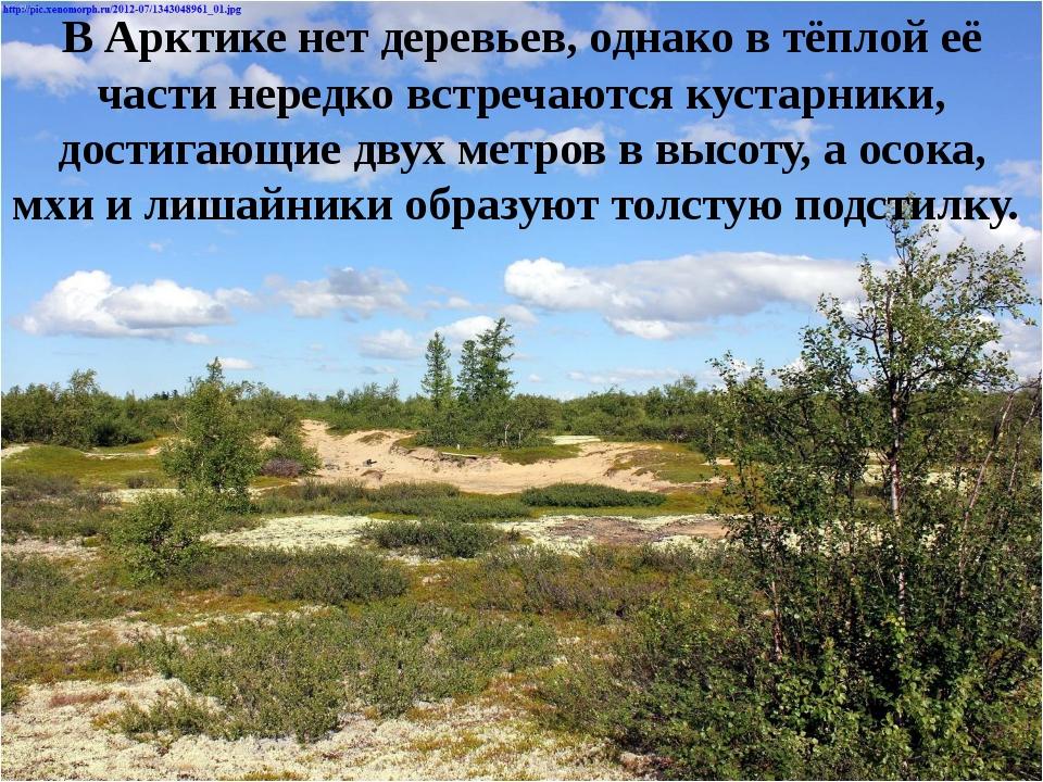 В Арктике нет деревьев, однако в тёплой её части нередко встречаются кустарни...