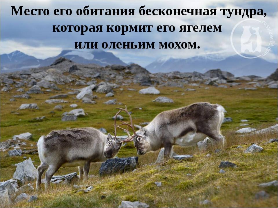 Место его обитания бесконечная тундра, которая кормит его ягелем или оленьим...