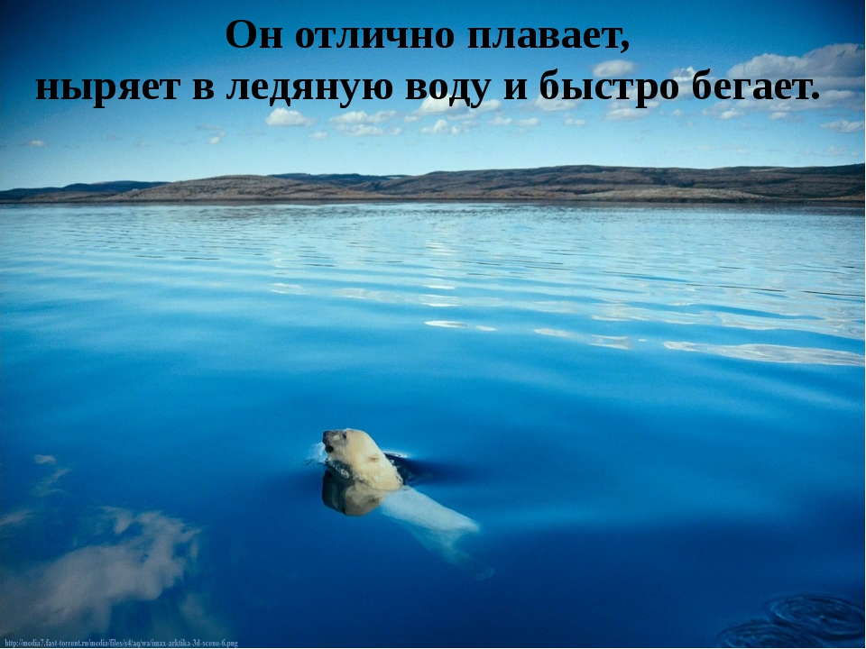 Он отлично плавает, ныряет в ледяную воду и быстро бегает.