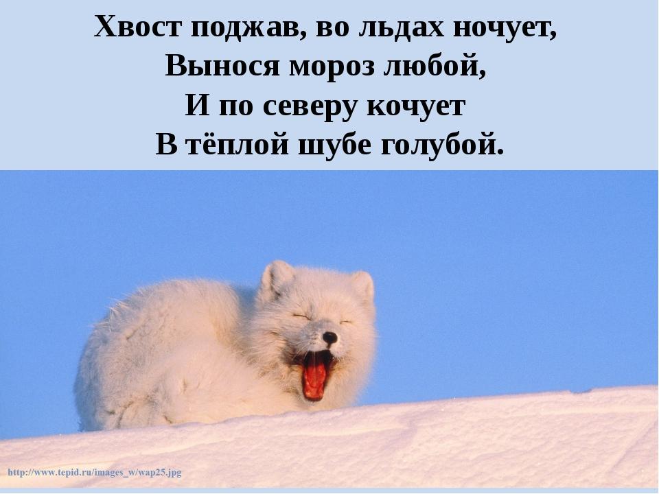 Хвост поджав, во льдах ночует, Вынося мороз любой, И по северу кочует В тё...